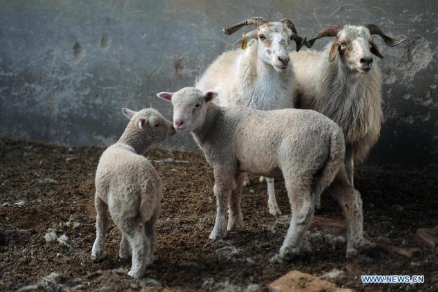 TEST-TUBE SHEEP CELEBRATE ONE-MONTH BIRTHDAY IN NW CHINA