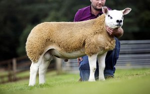 sheep_3014977b