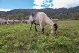 160208_goats_JC