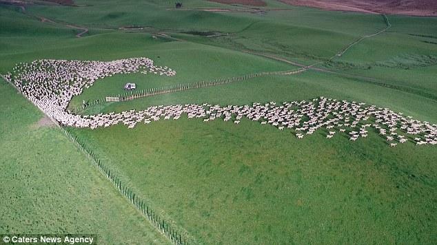 Drone Sheep