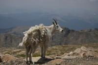 A mountain goat stands on the edge of the road near the summit of Mount Evans on Thursday, July 5, 2012. The Forest Service recently decided to no longer charge visitors to Mount Evans who donÕt use the parking lots and facilities along the country's highest paved road. Stephen Mitchell, The Denver Post