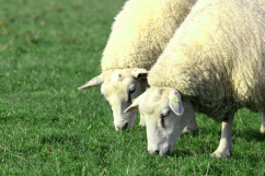 two white sheep on pasture