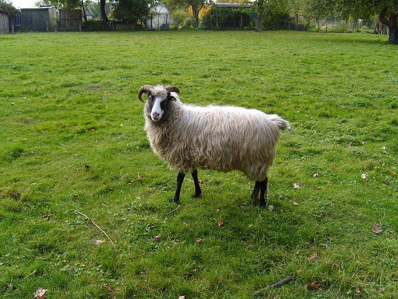 800px-Grey_sheep