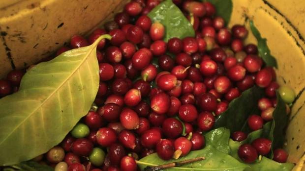 hi-852-arabica-beans
