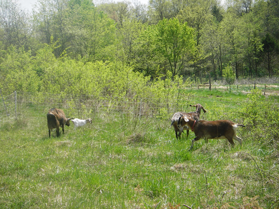 goats in pasture jpg