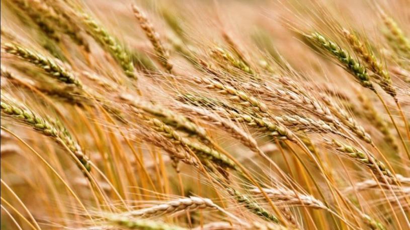 si-Wheat in Oklahoma