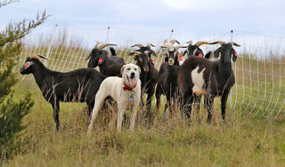 Otto, a Great Pyrenees mountain dog keeps watch on Spanish goats in S.E. Oklahoma City, Monday May 2, 2016.  Langston University researchers are using goats to manage vegetation. Photo By Steve Gooch, The Oklahoman