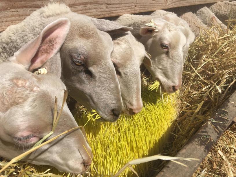 sheep_drought_7