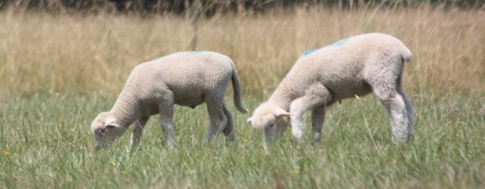 2-lambs-grazing-e1455033293977-696x271