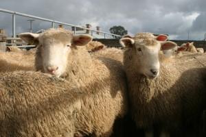 lambs-saleyards-3-300x200