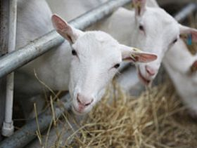 1676_goats-eating