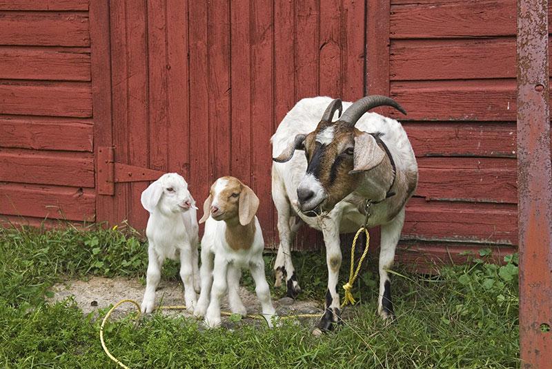 fall-goat-rut