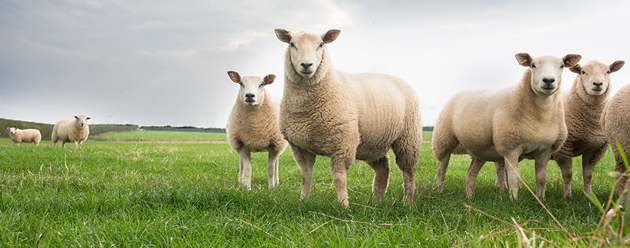 sheep-flock-630px