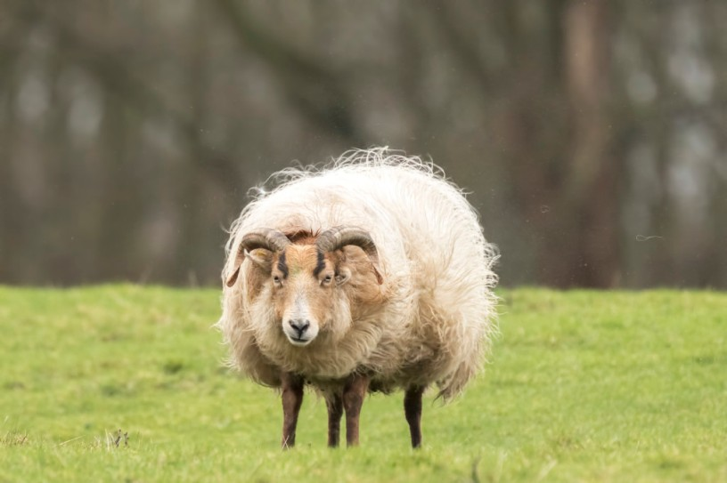 Sheep is shaking off fuzz and fluff. Flocks of hair are flying in the air. It is almost Spring, then the wool of this sheep will be sheared again...