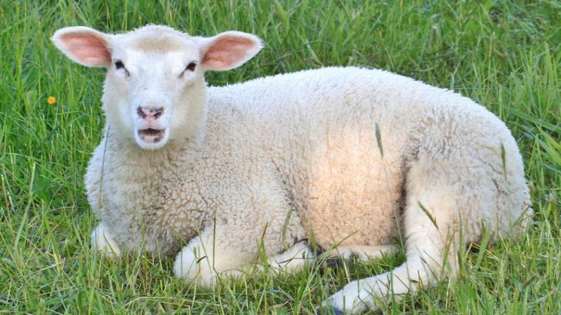 sheep-348956_1920